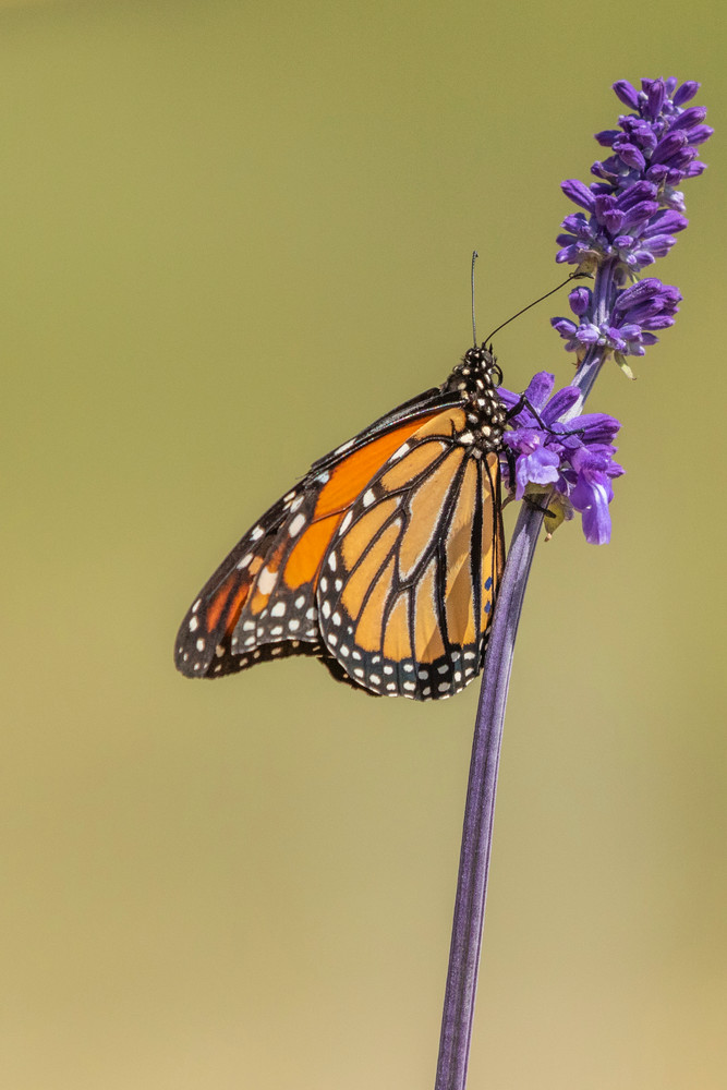 Spring Monarch Photographs – Fine Art Prints