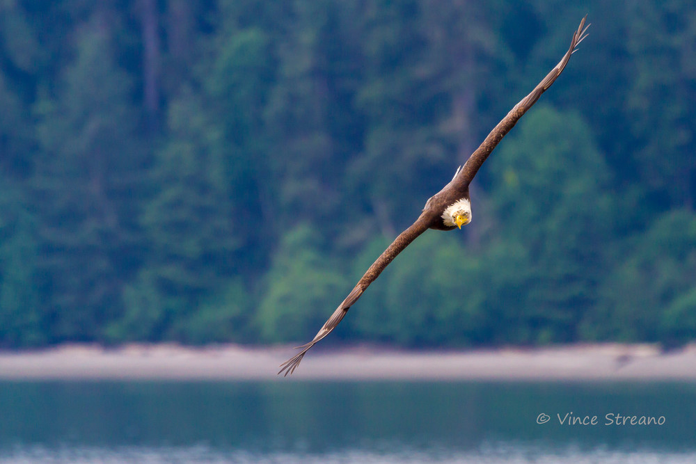 Fine art prints of an eagle soaring over Skagit Bay