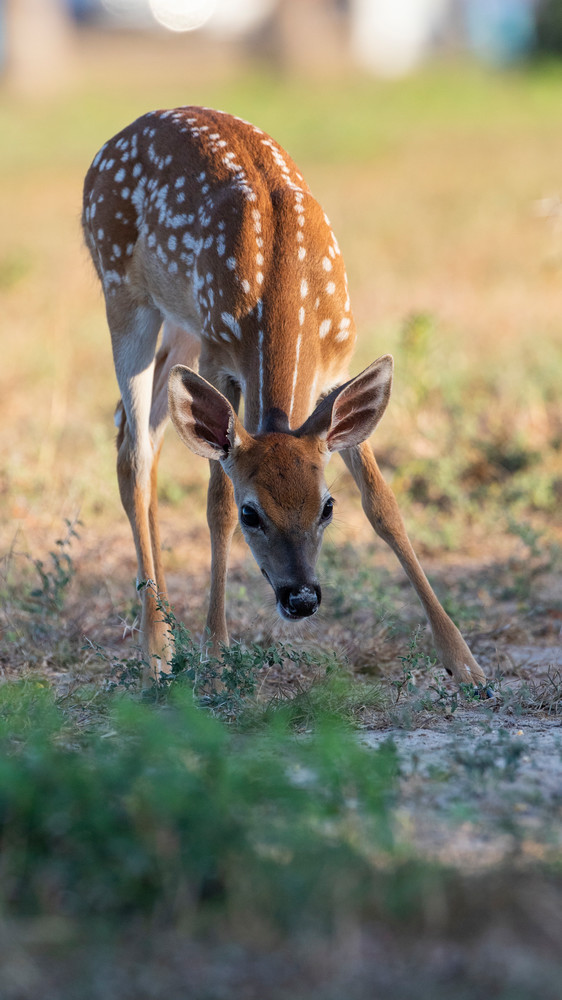 Whitetail Fawn photographs – Fine Art Prints
