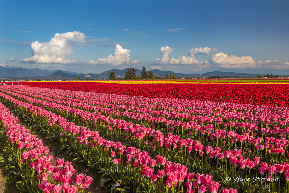 Fine art prints of tulip fields in Northwest Washington