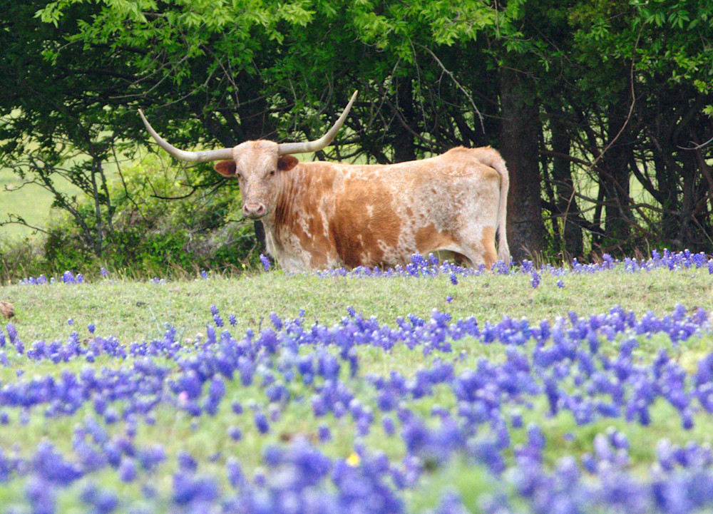 Longhorn In The Bluebonnets Photography Art | Photos by Angie B