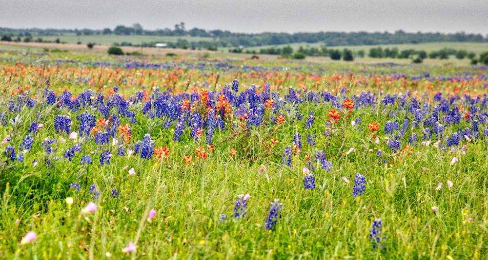 Bluebonnets and Paint brushes