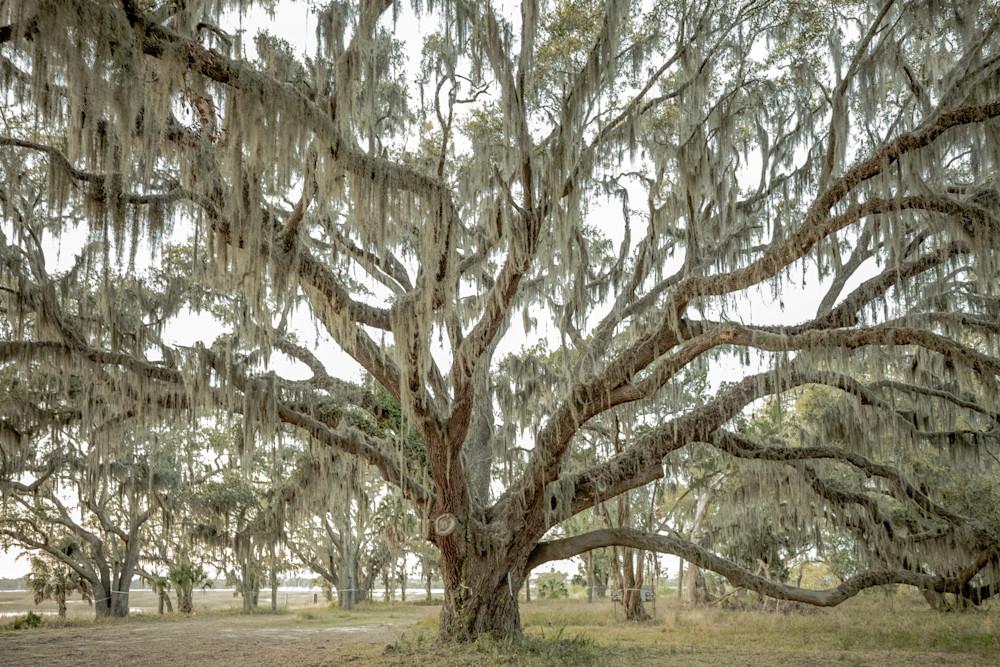 Majestic Live Oak