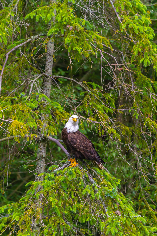 Fine art prints available of a resting bald eagle.
