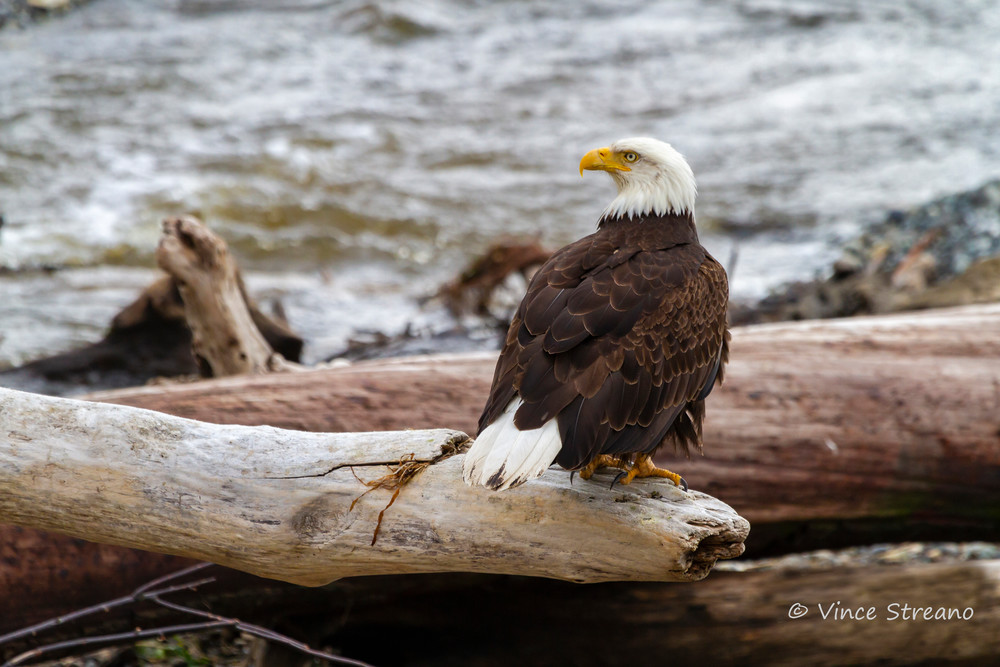 Fine art prints of bald eagle fishing the river.