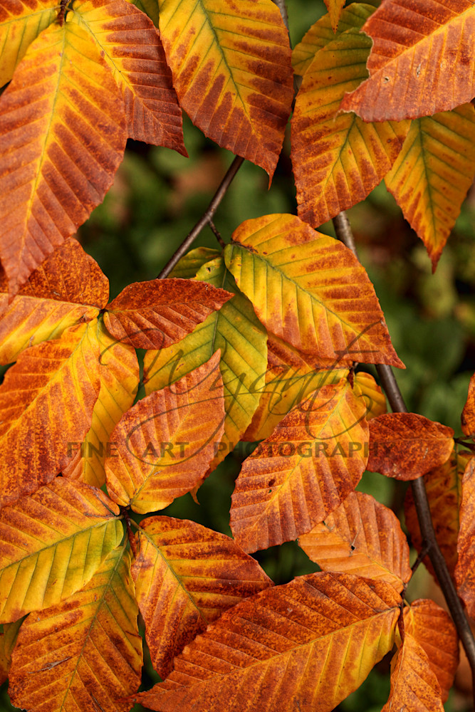 Beech Leaves: Shop Fine Art Photography | Jim Wyant, Master Craftsman