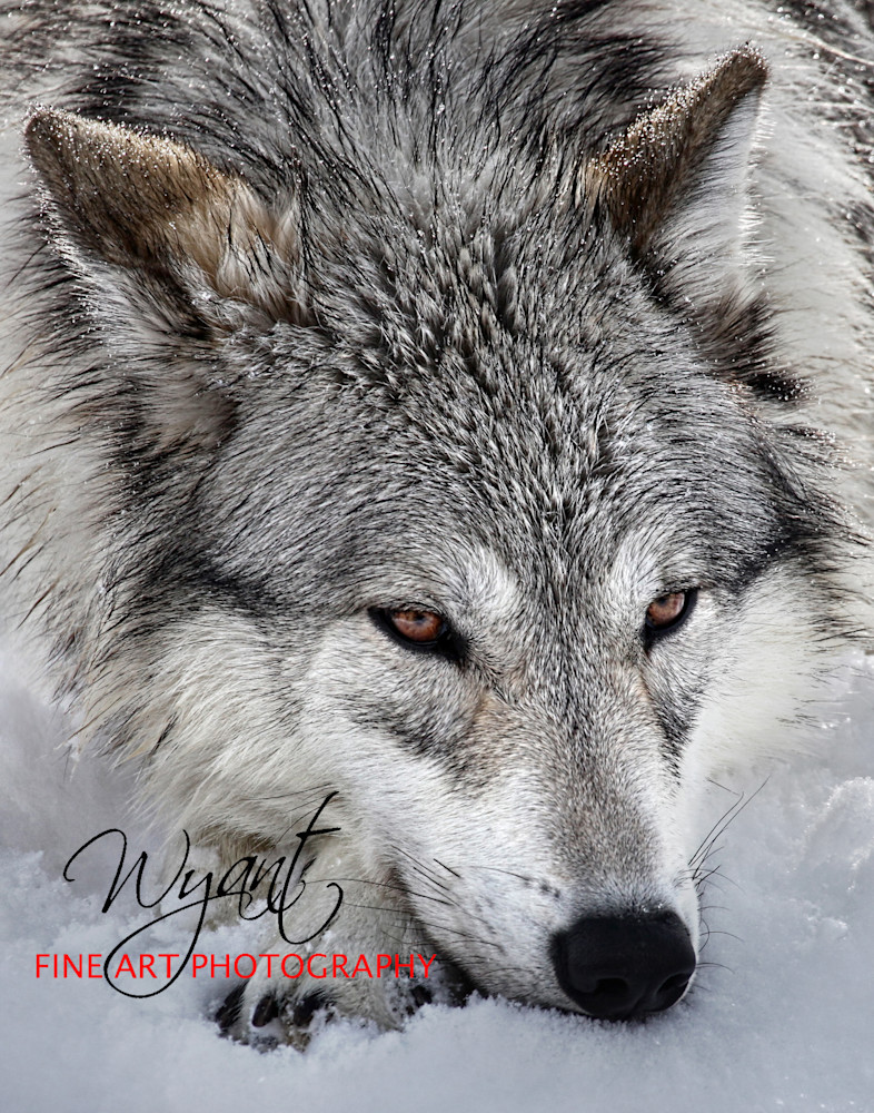 Yellowstone Wolf at Rest: Shop Fine Art Photography | Jim Wyant, Master Craftsman (317)663-4798