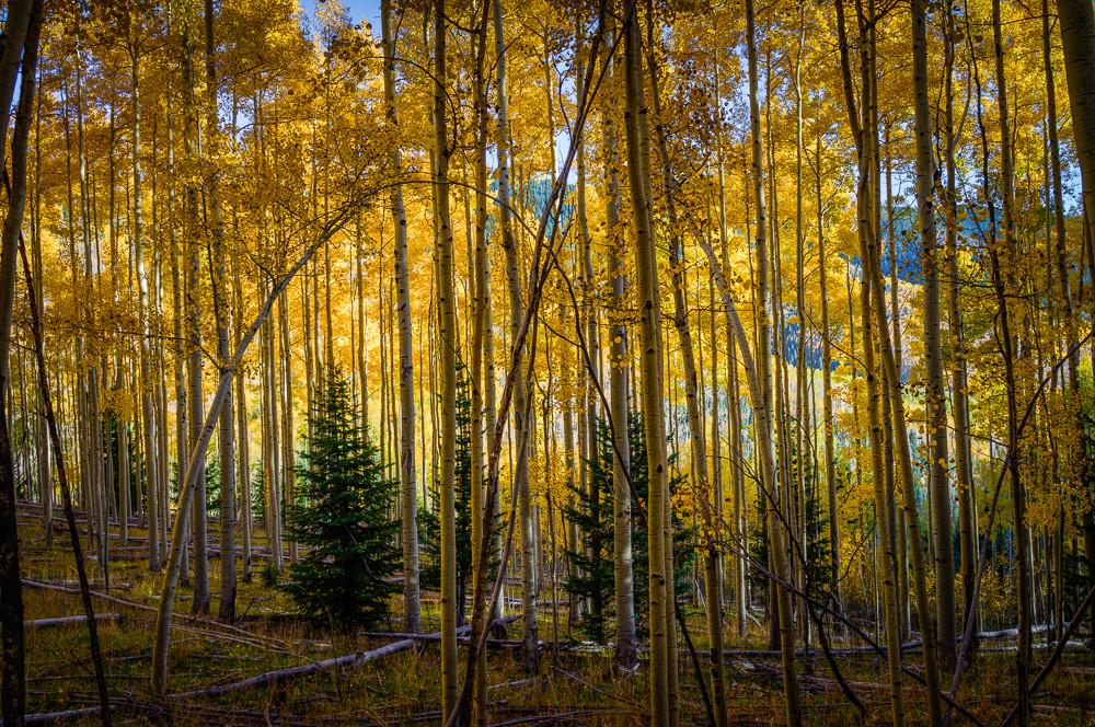 Aspens, Autumn, Fall, Landscape, New Mexico, Photography, Sangre de Christo mountains, Santa Fe, Southwest, forest