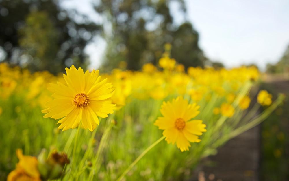 Golden Blooms - Neath Hunter Valley NSW Australia   Flora