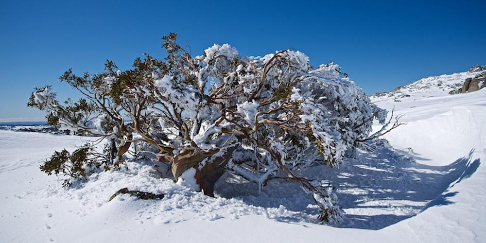 Frosted Snow Gum - Perisher Kosciuszko National Park NSW Australia   Snow