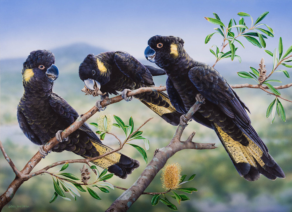 Banksia Banquet - Yellow Tailed Black Cockatoos | Natalie Jane Parker | Australian Native Fauna