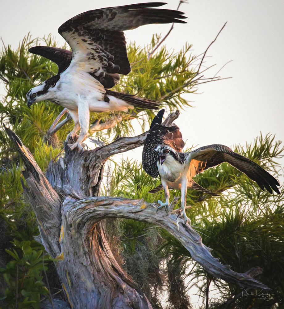 Ospreys of Blue Cypress Lake