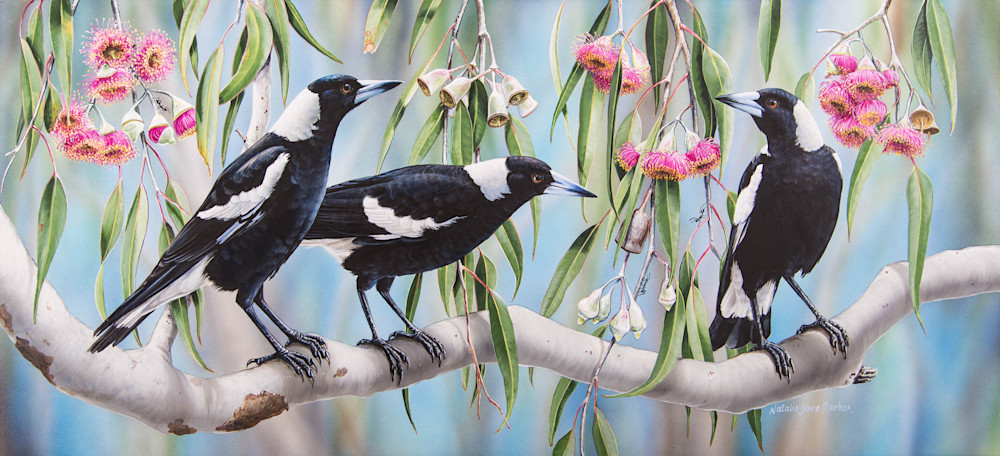 Magpie Melody - Magpies In Flowering Eucalyptus Natalie | Jane Parker | Australian Native Wildlife