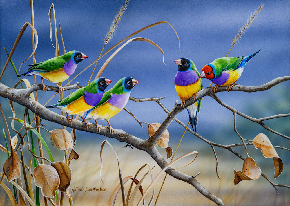 Northern Colours - Gouldian Finches Natalie | Jane Parker | Australian Native Wildlife