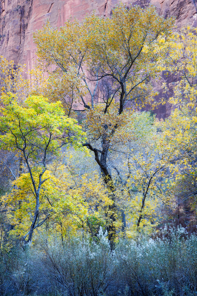 Cottonwoods in Fall Zion