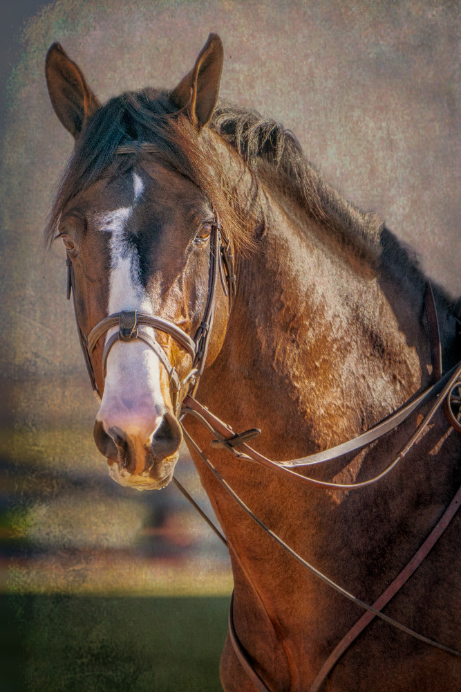 Bridle Portrait of Clintord 1