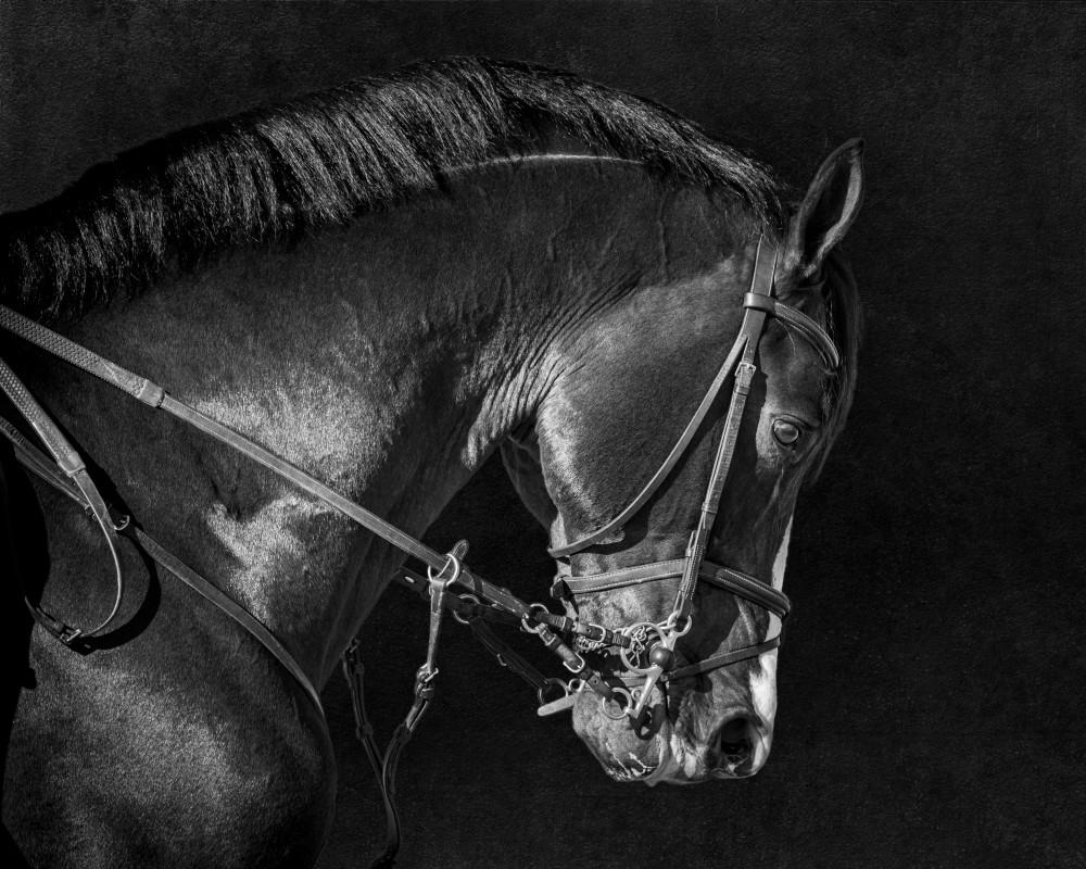Bridle Portrait of Clintord 3, b&w