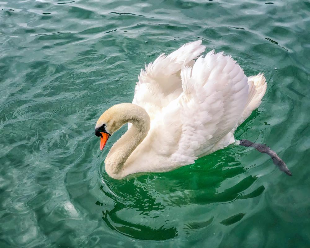 Swan, color