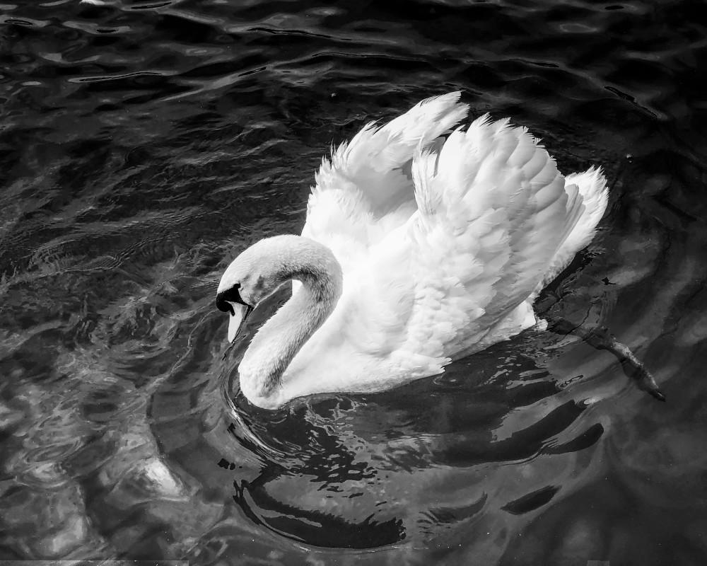 Swan, b&w