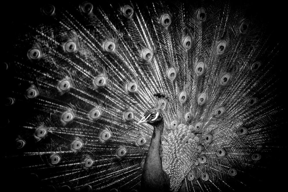 Peacock Eyes, b&w