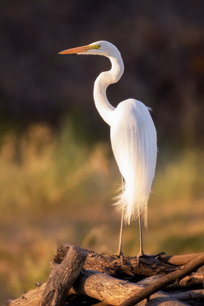 Great Egret In The Arizona Desert Photography Art | Carol Brooks Parker Fine Art Photography