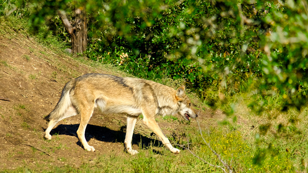 Grey Wolf Walking
