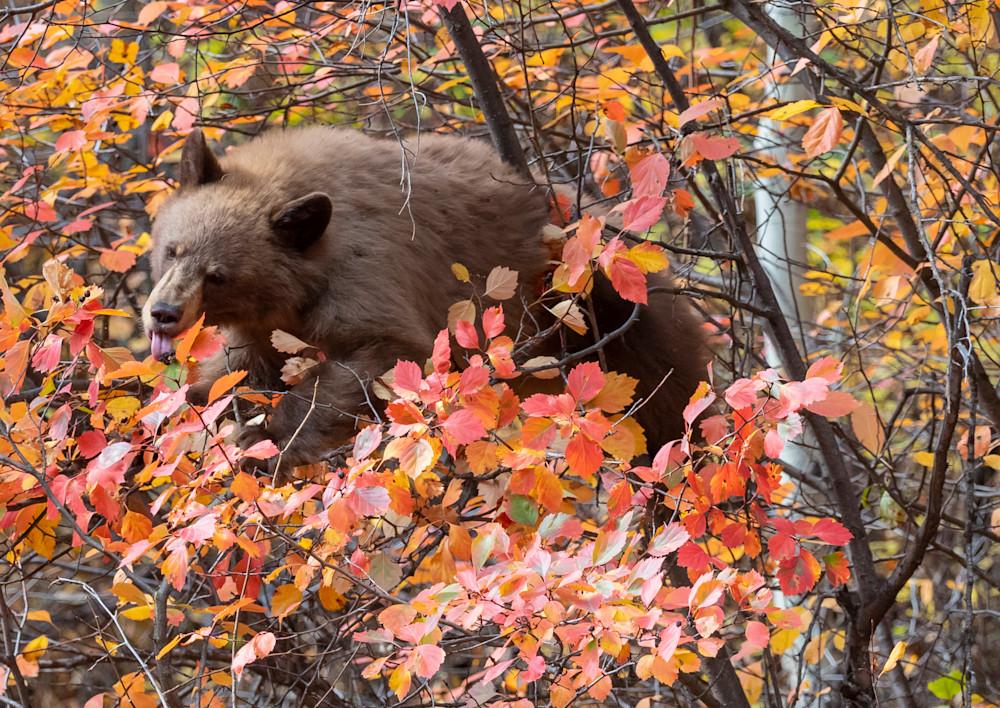Berry eating Black Bear