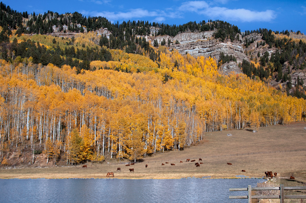 Aspen Cows N Bluff Photography Art | Dale Yakaites Photography