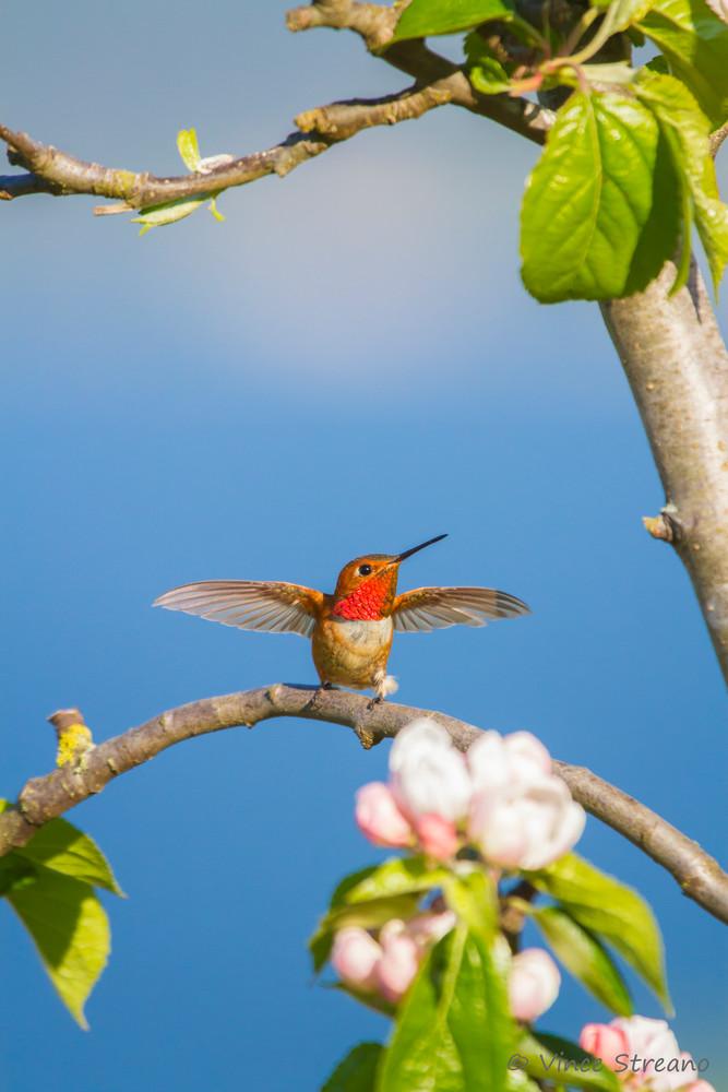 Wall art of male Rufous hummingbird dancing on tree branch