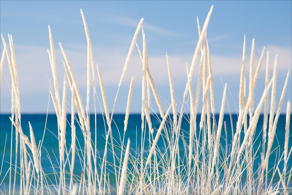 Winter Bleached Marram Grass