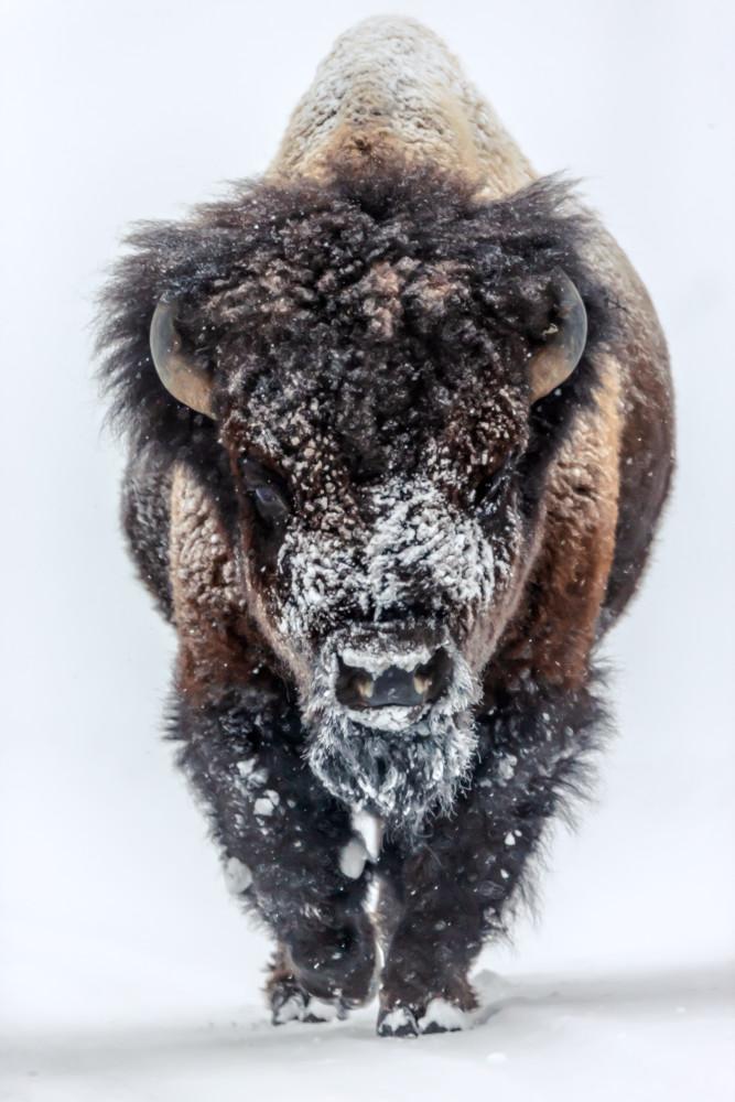 Buffalo Wildlife Wall Art | Robbie George