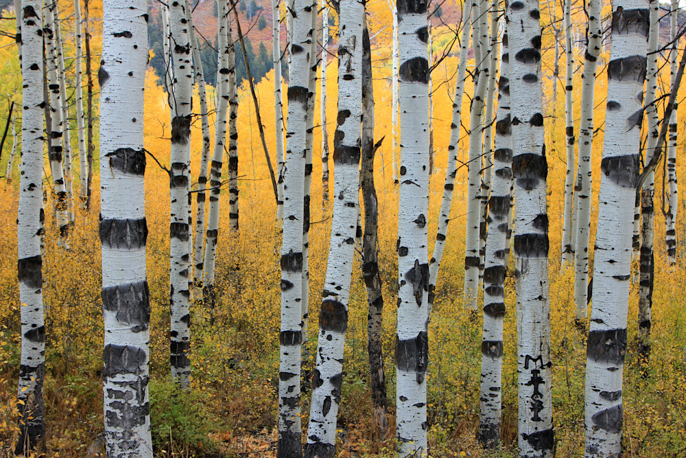 Wasatch Aspens Photography Art | Johnny Adolphson Photography