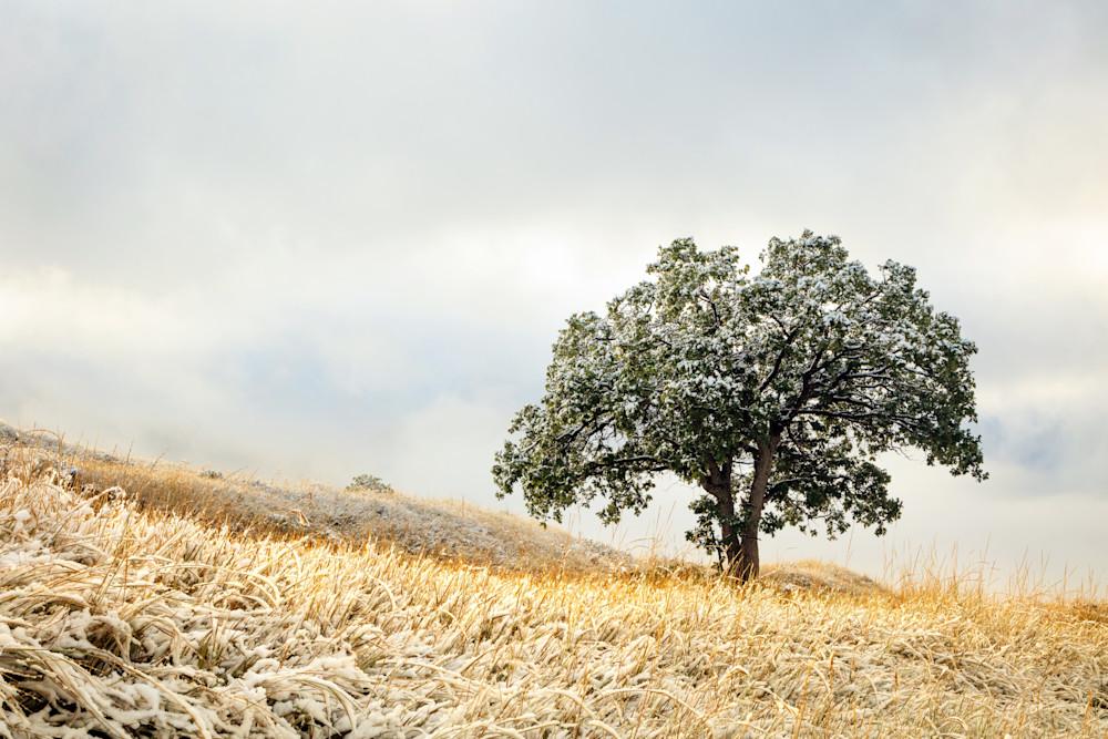 lone Wasatch oak