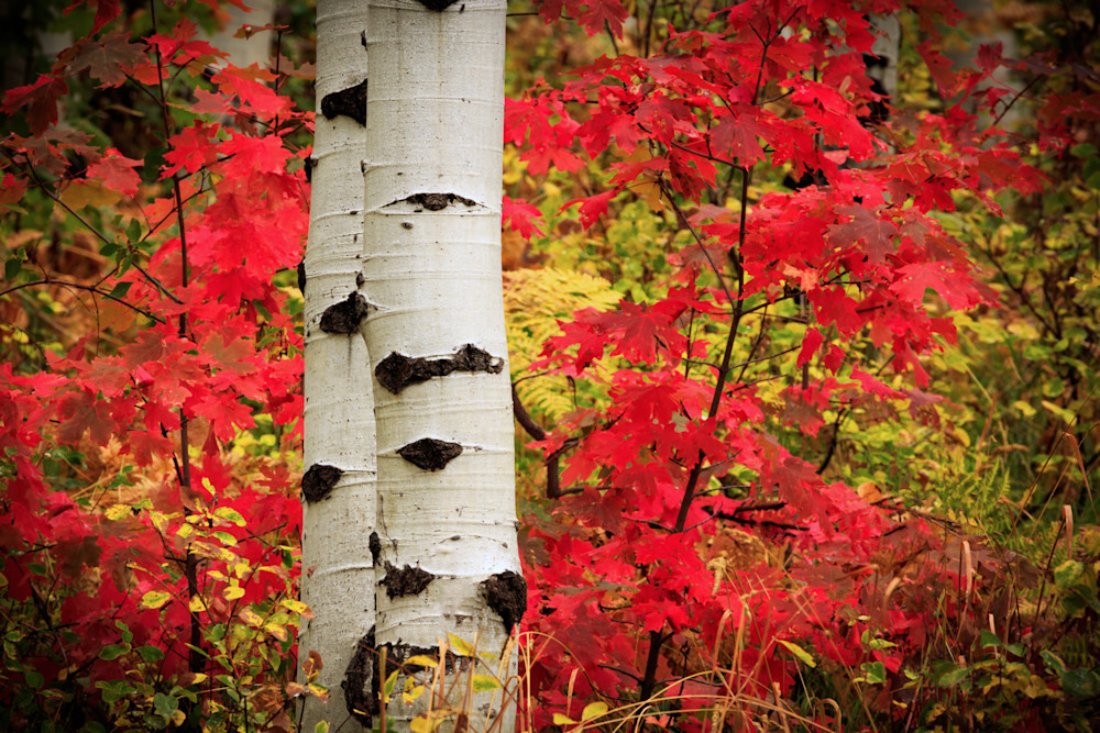 aspens in the red maples