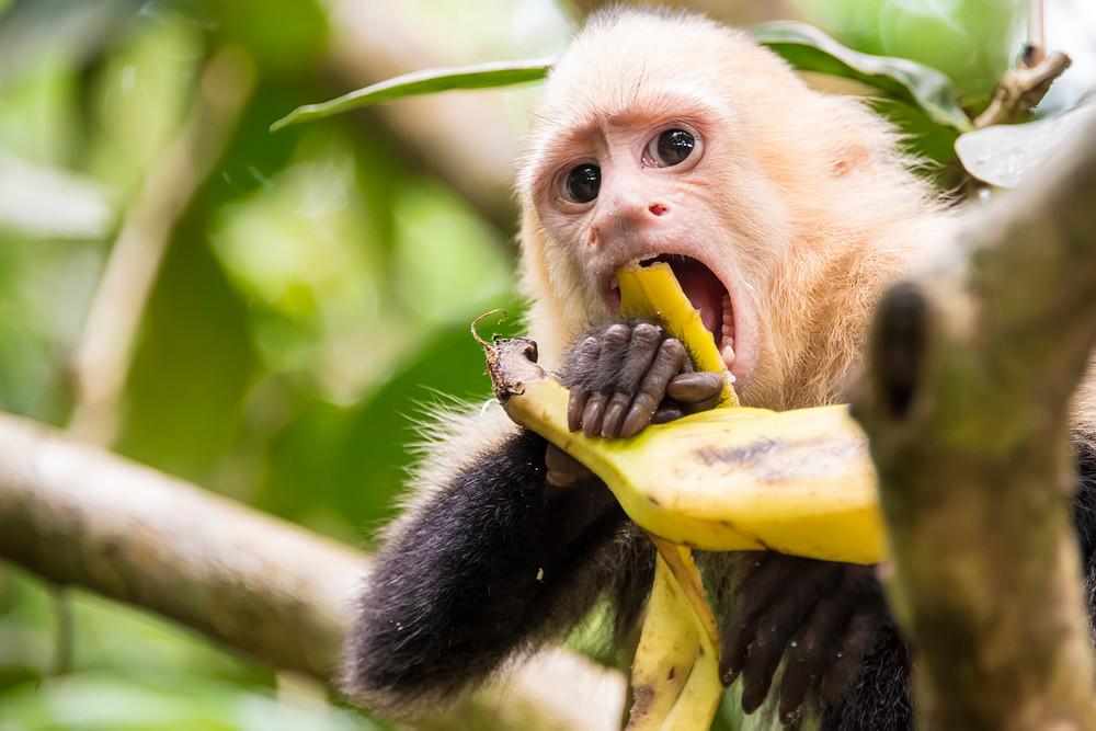 Capuchin Monkey Brunch