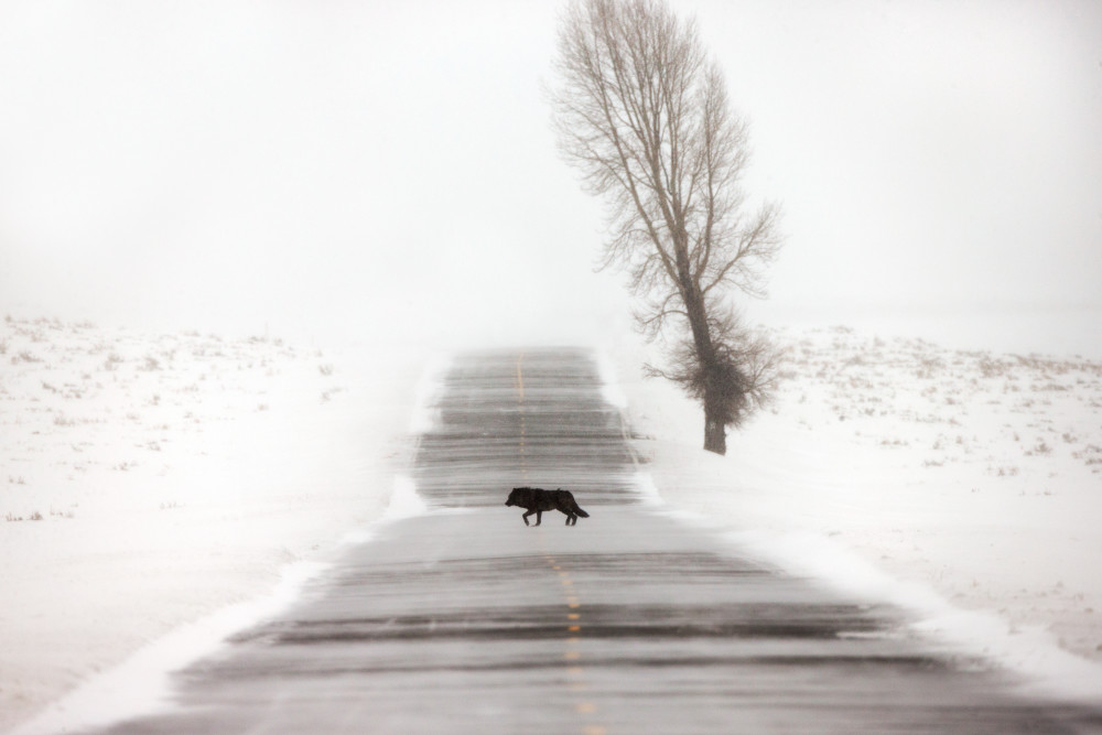 Black Wolf Wildlife Photography Prints   Robbie George
