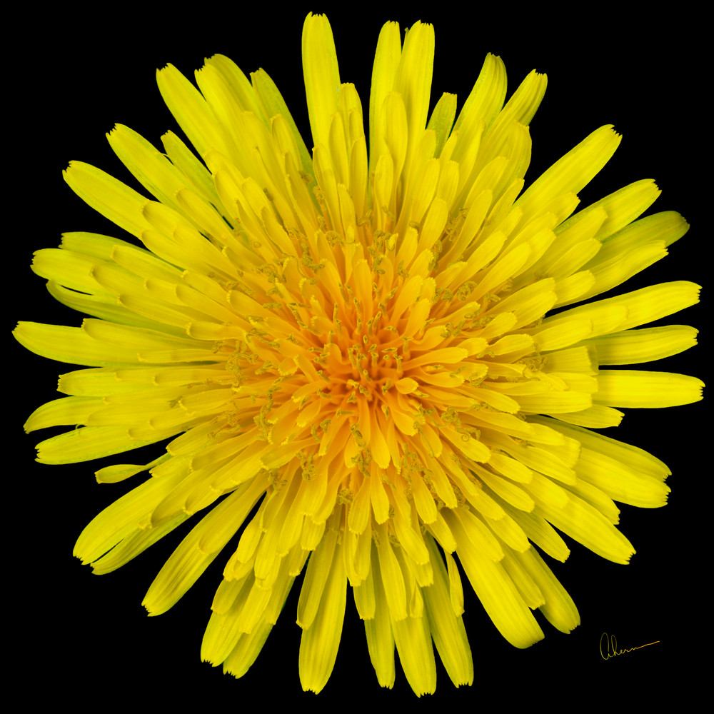 Dandelion Flower Squared metal wall art. Aluminum Prints by the artist, Mary Ahern.