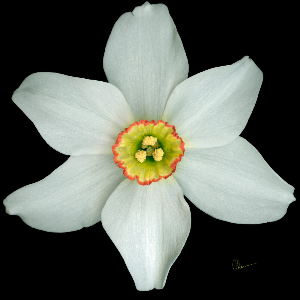 White Poeticus Daffodil Squared metal wall art. Designer Aluminum Prints by the artist, Mary Ahern.
