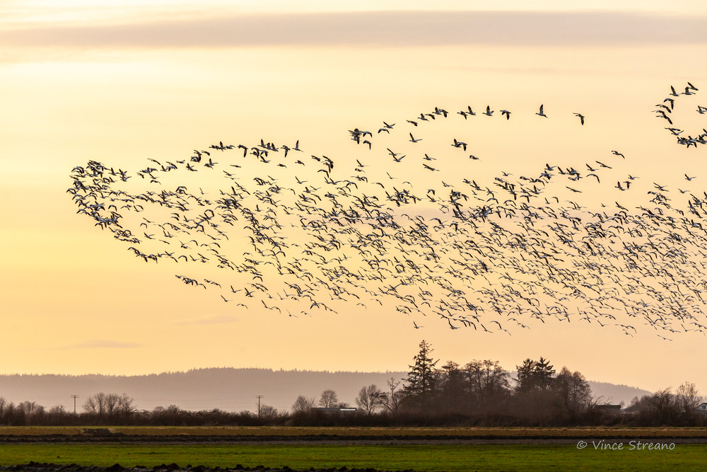 A flock of Snow Geese flying over Skagit County, Washington at sunset.