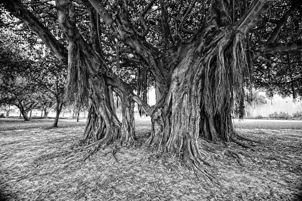 Banyan Tree II