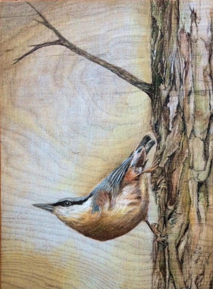 nuthatch songbird bird nature drawing art