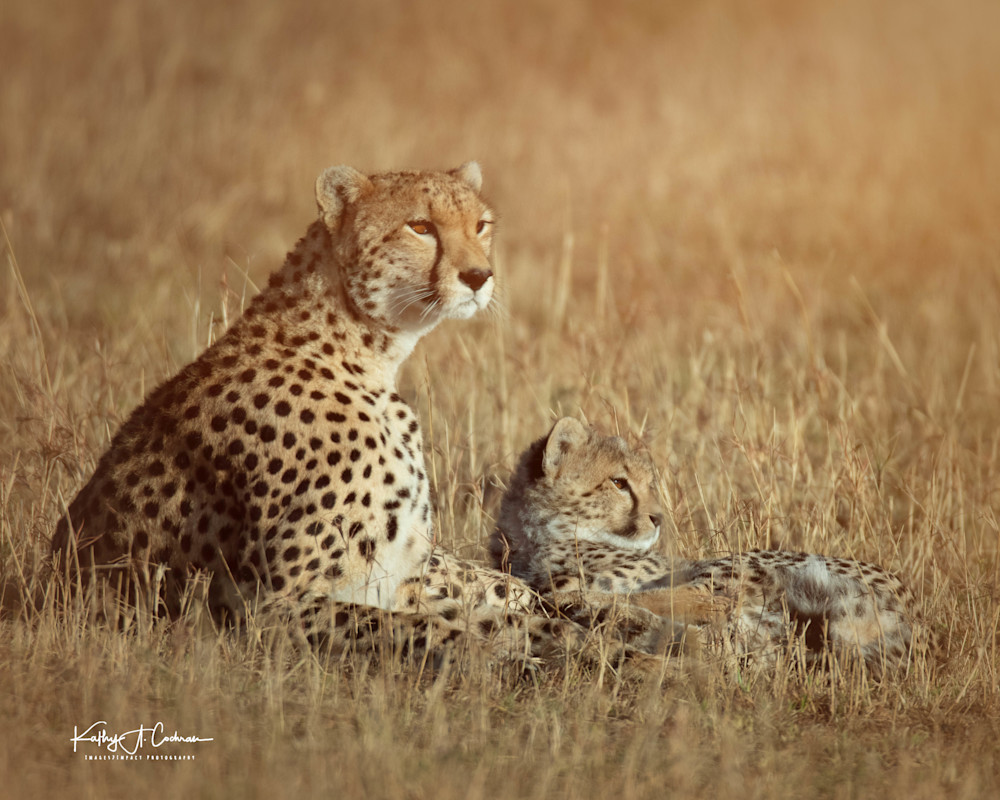 Kenya Cheetah 3817 Photography Art | Images2Impact