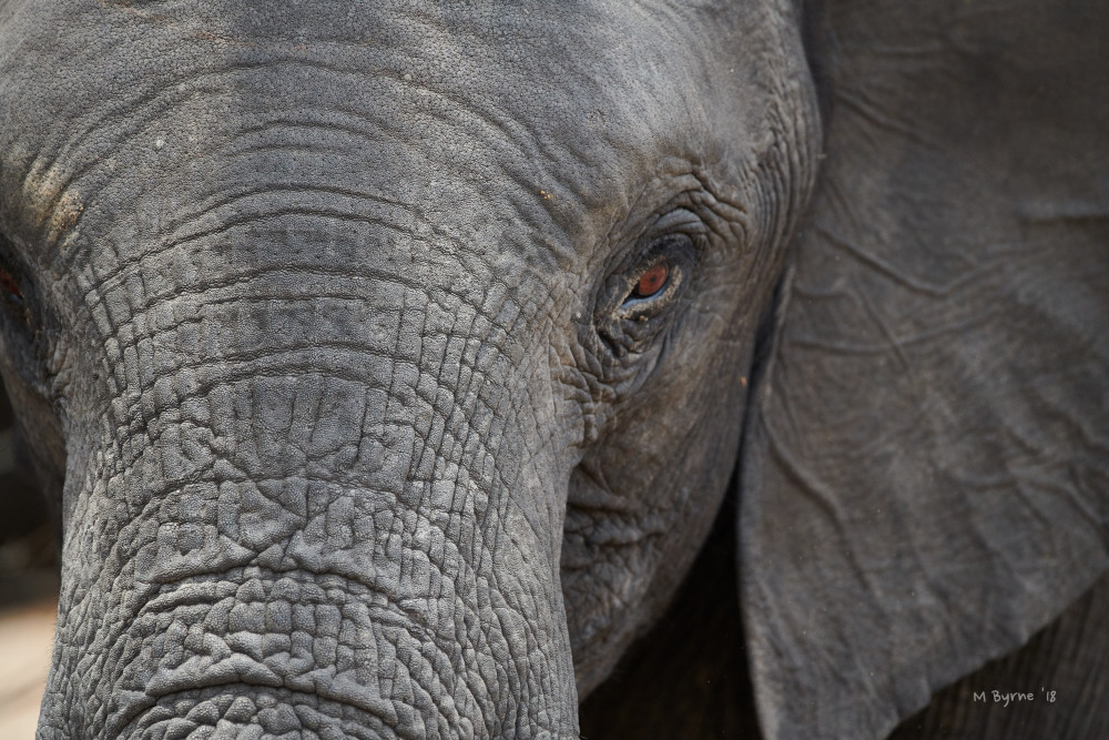 Closeup of an elephant's head, eye and trunk.