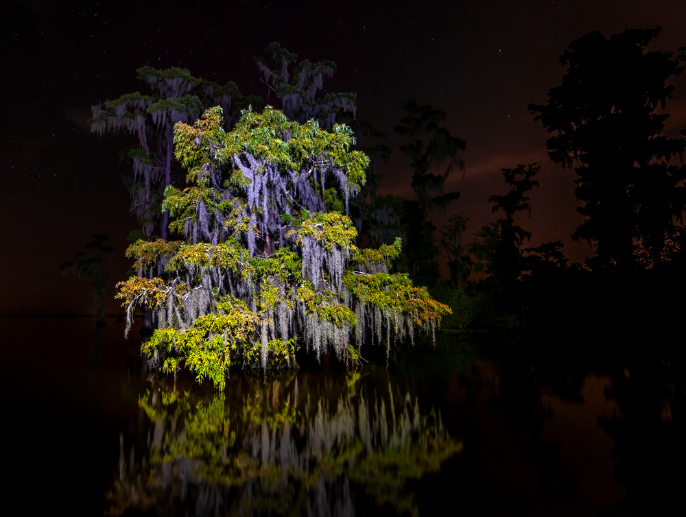 Festooned cypress tree Louisiana swamp photography