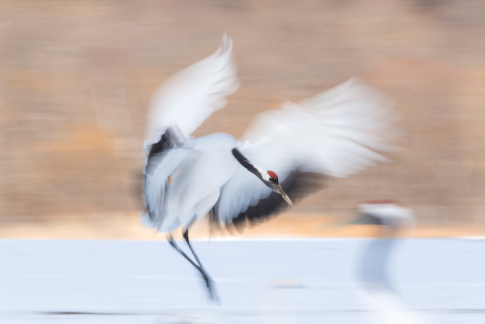 Red-crowned crane gracious landing