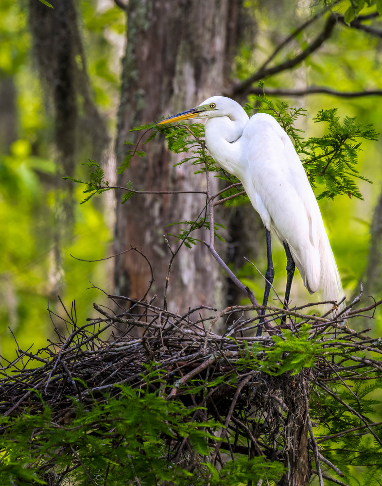 Nesting Egret bird photography