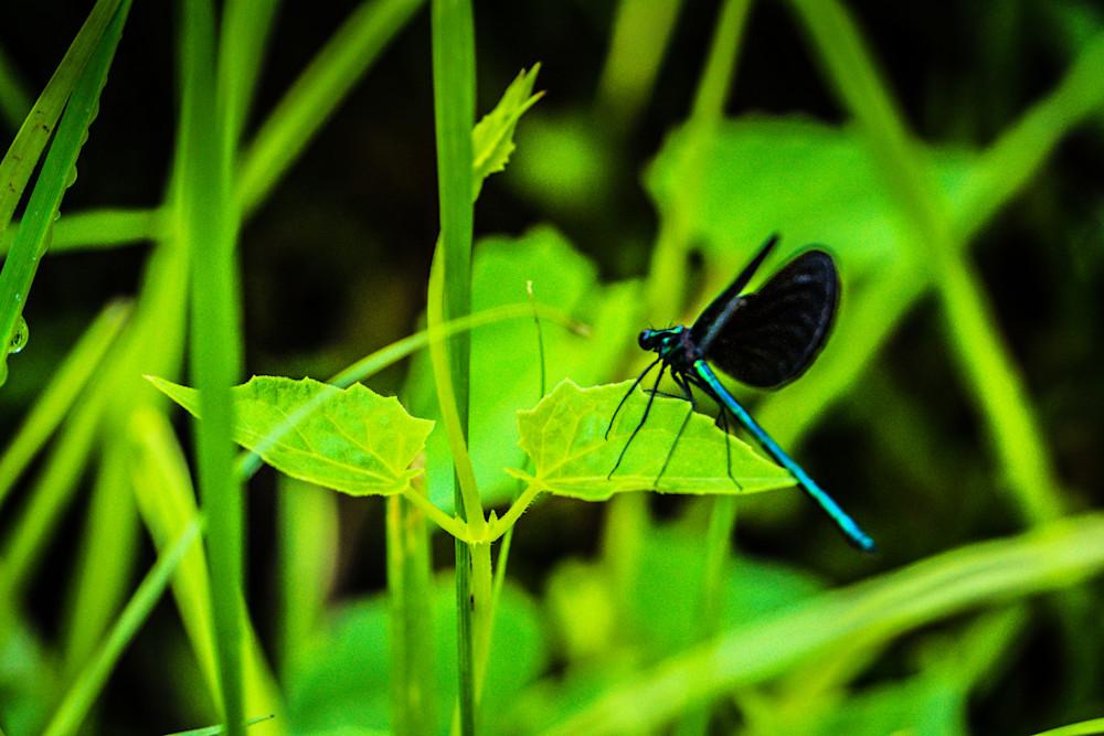 Blue Dragon Fly  Photography Art | BenjieArts