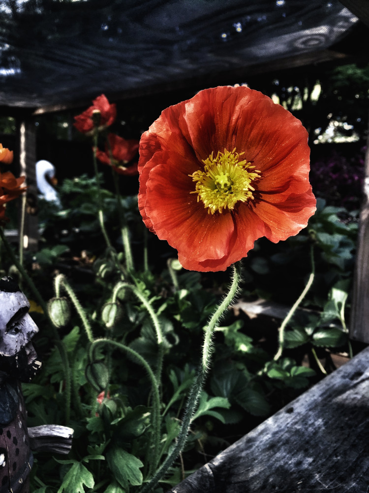Red Poppy Photography Art | BenjieArts