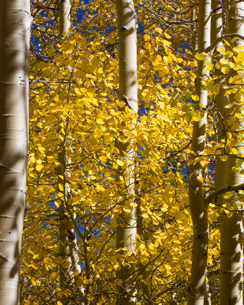 Aspen Closeup Photography Art | Leiken Photography
