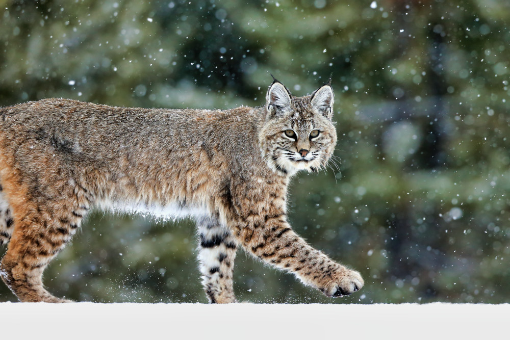 Bobcat Wildlife Prints | Robbie George